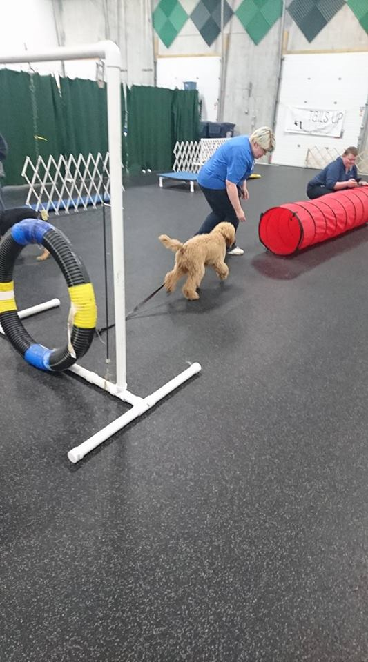 Heading for the tunnel in puppy agility!