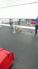 A puppy agility jump!
