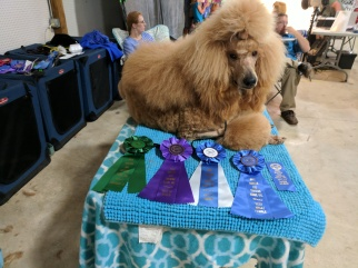 Ribbons on the day he became a UKC CH.